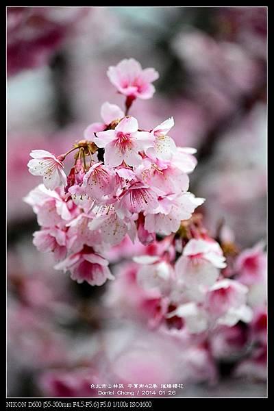 nEO_IMG_140126--Cherry blossom 021-800.jpg