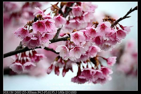 nEO_IMG_140126--Cherry blossom 029-800.jpg