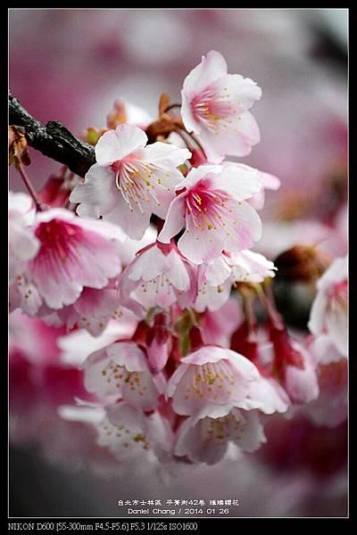 nEO_IMG_140126--Cherry blossom 048-800.jpg