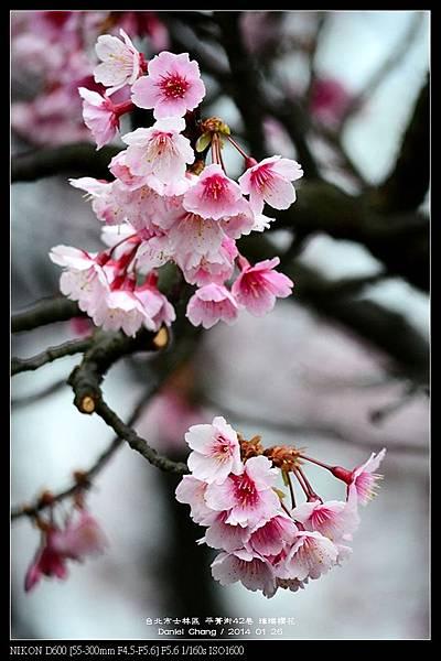 nEO_IMG_140126--Cherry blossom 057-800.jpg