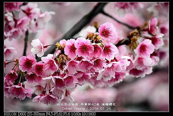 nEO_IMG_140126--Cherry blossom 062-800.jpg