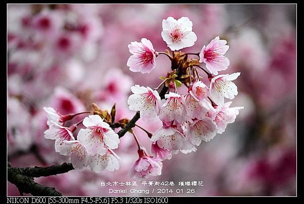 nEO_IMG_140126--Cherry blossom 063-800.jpg