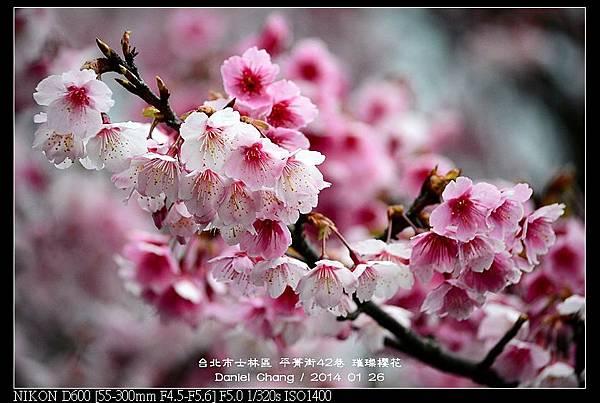 nEO_IMG_140126--Cherry blossom 066-800.jpg