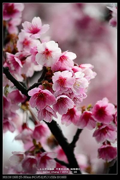 nEO_IMG_140126--Cherry blossom 067-800.jpg
