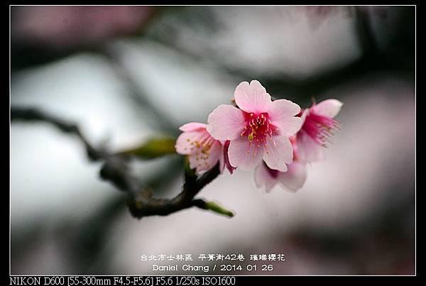nEO_IMG_140126--Cherry blossom 072-800.jpg