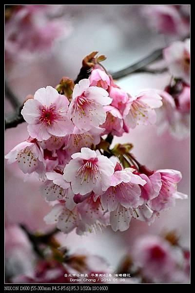nEO_IMG_140126--Cherry blossom 074-800.jpg