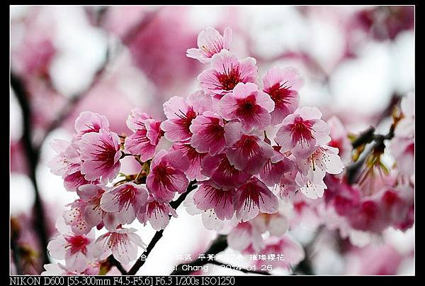 nEO_IMG_140126--Cherry blossom 083-800.jpg