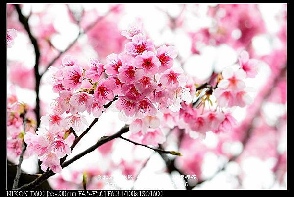 nEO_IMG_140126--Cherry blossom 085-800.jpg