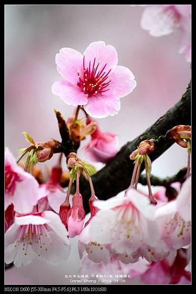 nEO_IMG_140126--Cherry blossom 098-800.jpg