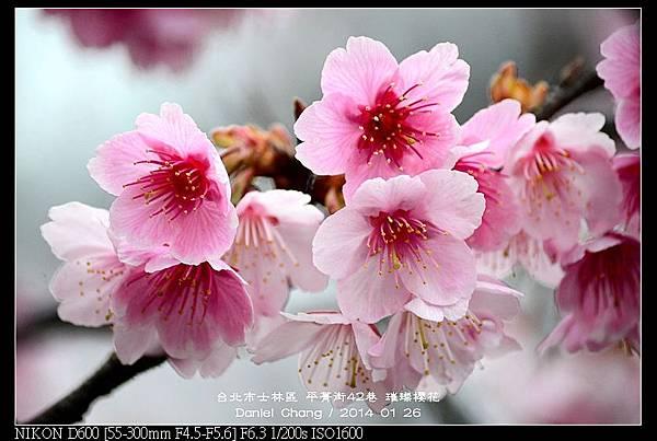 nEO_IMG_140126--Cherry blossom 104-800.jpg