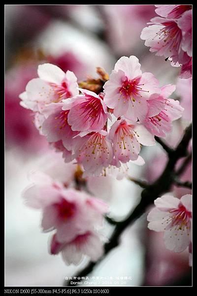 nEO_IMG_140126--Cherry blossom 105-800.jpg