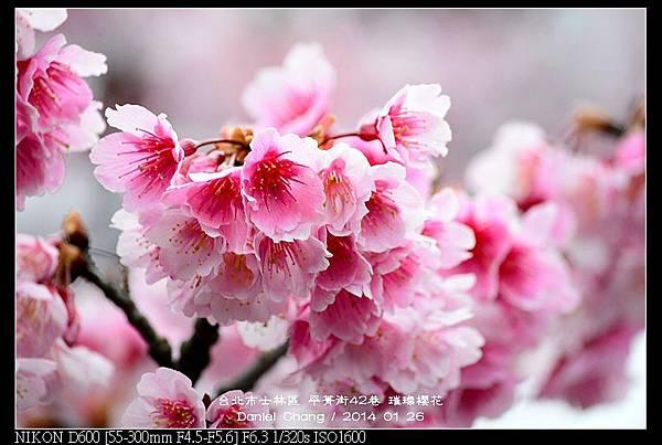nEO_IMG_140126--Cherry blossom 129-800.jpg