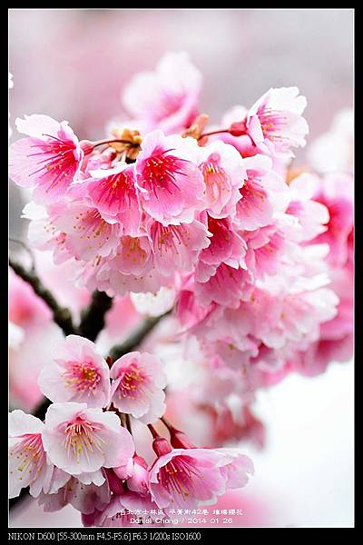 nEO_IMG_140126--Cherry blossom 131-800.jpg