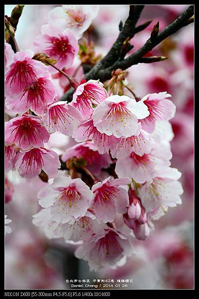 nEO_IMG_140126--Cherry blossom 145-800.jpg