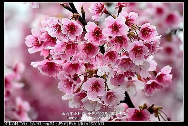 nEO_IMG_140126--Cherry blossom 148-800.jpg