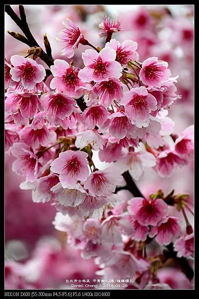 nEO_IMG_140126--Cherry blossom 155-800.jpg