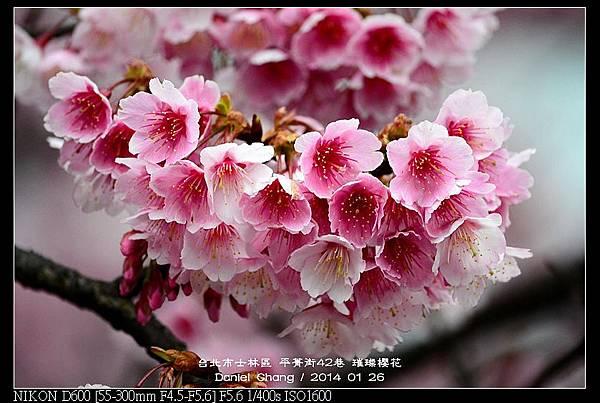 nEO_IMG_140126--Cherry blossom 156-800.jpg