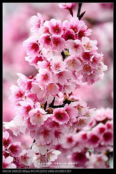 nEO_IMG_140126--Cherry blossom 161-800.jpg