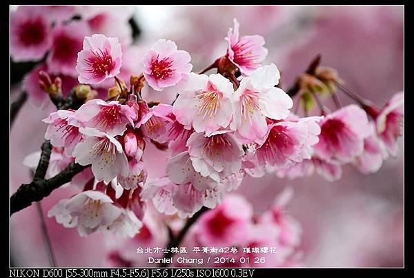 nEO_IMG_140126--Cherry blossom 168-800.jpg