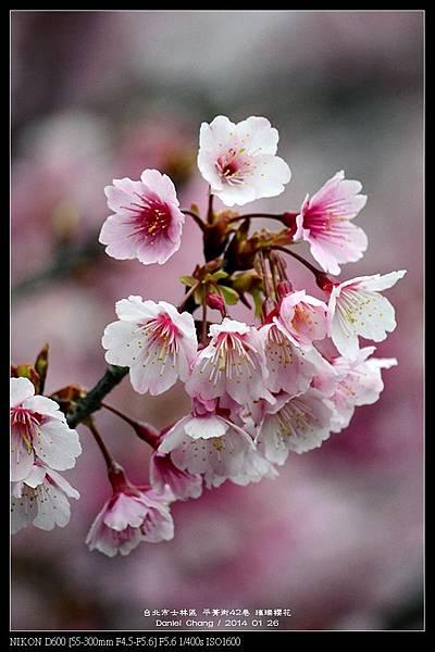 nEO_IMG_140126--Cherry blossom 176-800.jpg