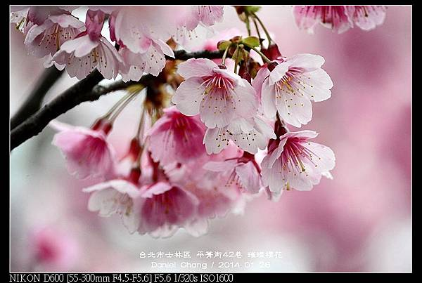 nEO_IMG_140126--Cherry blossom 180-800.jpg