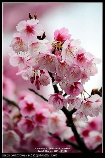 nEO_IMG_140126--Cherry blossom 183-800.jpg