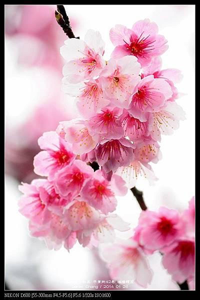 nEO_IMG_140126--Cherry blossom 194-800.jpg