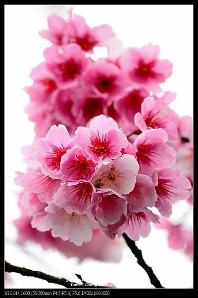 nEO_IMG_140126--Cherry blossom 196-800.jpg