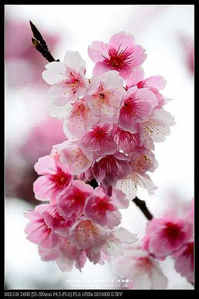 nEO_IMG_140126--Cherry blossom 199-800.jpg