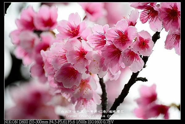 nEO_IMG_140126--Cherry blossom 200-800.jpg