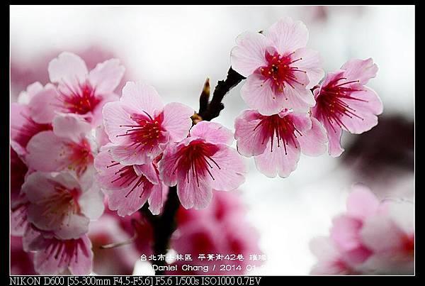 nEO_IMG_140126--Cherry blossom 201-800.jpg