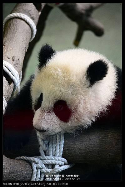 nEO_IMG_140131--Panda Yuanzai 014-800.jpg