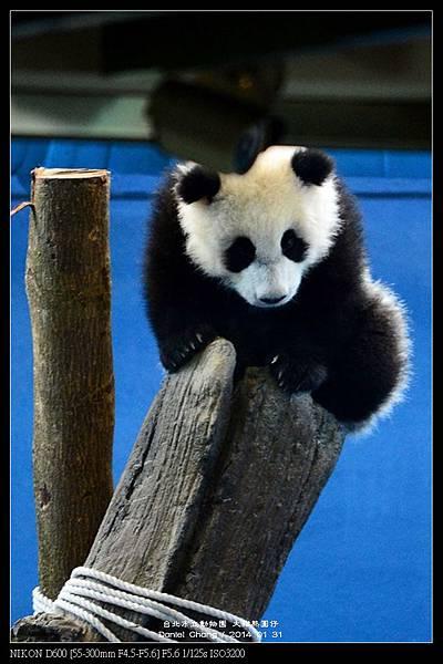 nEO_IMG_140131--Panda Yuanzai 274-800.jpg