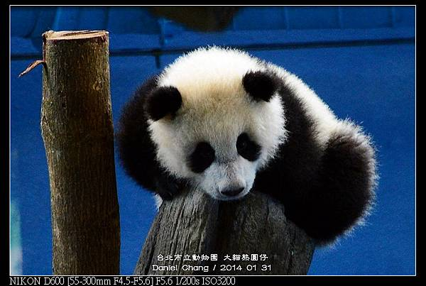 nEO_IMG_140131--Panda Yuanzai 277-800.jpg