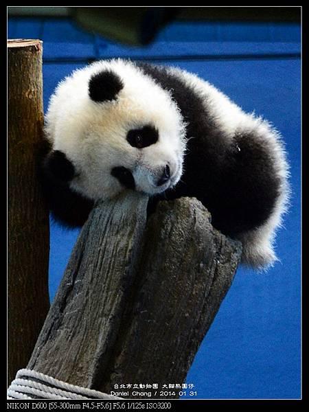 nEO_IMG_140131--Panda Yuanzai 287-800.jpg