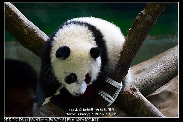nEO_IMG_140131--Panda Yuanzai 291-800.jpg