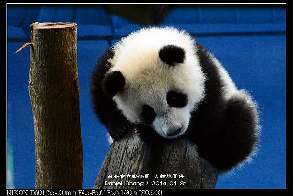 nEO_IMG_140131--Panda Yuanzai 295-800.jpg