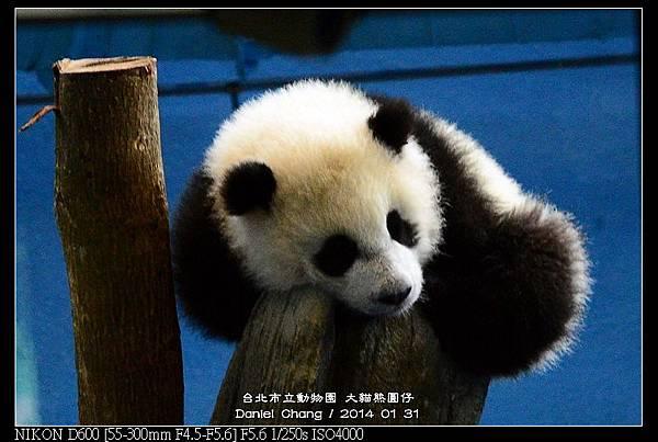 nEO_IMG_140131--Panda Yuanzai 304-800.jpg