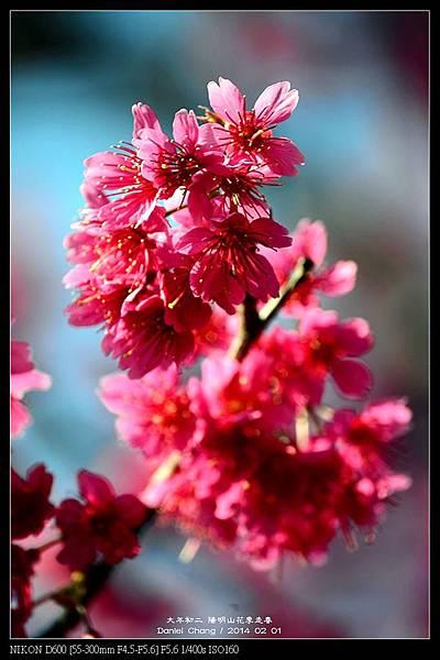 nEO_IMG_140201--YMS Cherry Blossoms 014-800.jpg