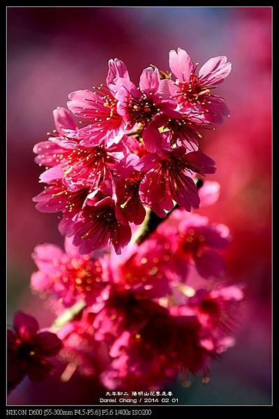 nEO_IMG_140201--YMS Cherry Blossoms 025-800.jpg