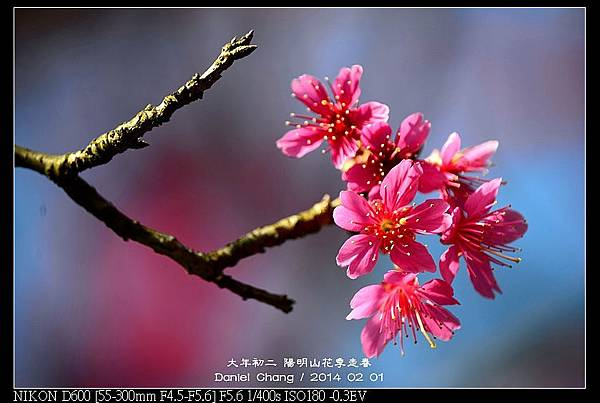 nEO_IMG_140201--YMS Cherry Blossoms 028-800.jpg