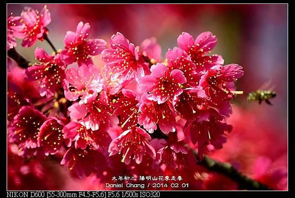 nEO_IMG_140201--YMS Cherry Blossoms 033-800.jpg