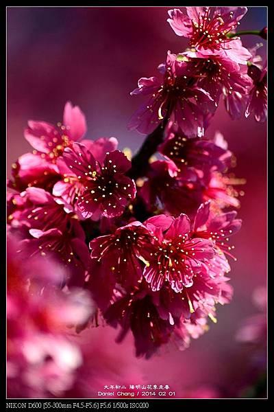 nEO_IMG_140201--YMS Cherry Blossoms 045-800.jpg