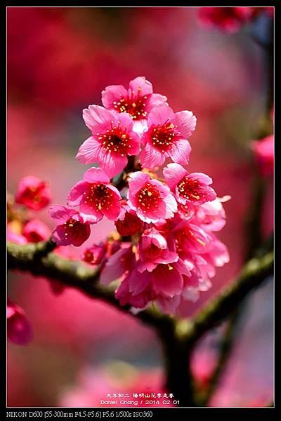 nEO_IMG_140201--YMS Cherry Blossoms 071-800.jpg