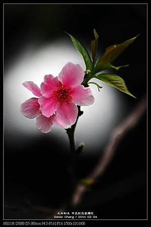nEO_IMG_140204--CKS Cherry Blossoms 020-800.jpg