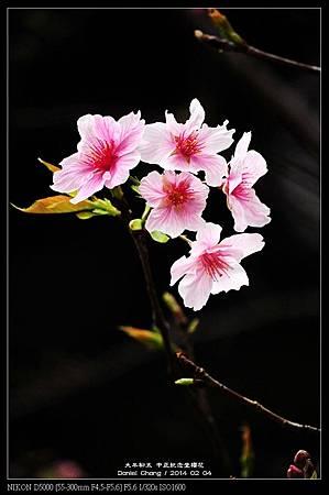 nEO_IMG_140204--CKS Cherry Blossoms 026-800.jpg