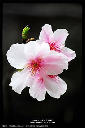 nEO_IMG_140204--CKS Cherry Blossoms 047-800.jpg