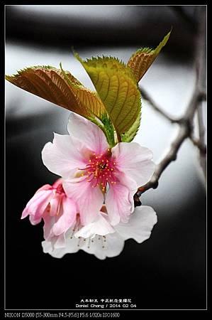 nEO_IMG_140204--CKS Cherry Blossoms 050-800.jpg