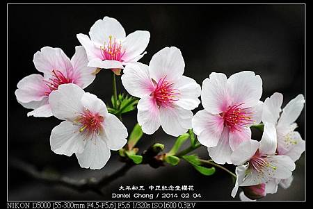 nEO_IMG_140204--CKS Cherry Blossoms 060-800.jpg