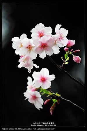 nEO_IMG_140204--CKS Cherry Blossoms 080-800.jpg
